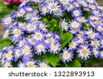cineraria or pericallis hybrida ... | Shutterstock . vector #1322893913