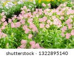 beautiful sweet pink flower of... | Shutterstock . vector #1322895140
