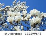 Bloomy Magnolia Tree With Big...
