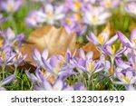 bees pollinate crocuses. close...   Shutterstock . vector #1323016919