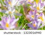 bees pollinate crocuses. close...   Shutterstock . vector #1323016940
