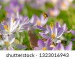 bees pollinate crocuses. close...   Shutterstock . vector #1323016943