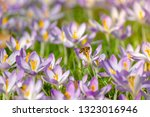 bees pollinate crocuses. close...   Shutterstock . vector #1323016946