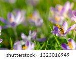 bees pollinate crocuses. close...   Shutterstock . vector #1323016949