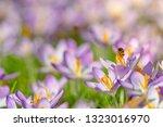 bees pollinate crocuses. close...   Shutterstock . vector #1323016970