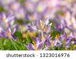bees pollinate crocuses. close...   Shutterstock . vector #1323016976