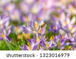 bees pollinate crocuses. close...   Shutterstock . vector #1323016979