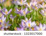 bees pollinate crocuses. close...   Shutterstock . vector #1323017000