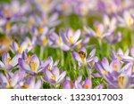 bees pollinate crocuses. close...   Shutterstock . vector #1323017003