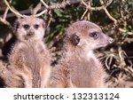 meerkat   Shutterstock . vector #132313124