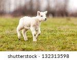 Baby sheep walking