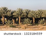 Dates Palm Tree Forest  In...