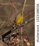 the european greenfinch ... | Shutterstock . vector #1323188036