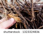 Hand Hold Stripped Tree Root...
