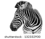 young male zebra isolated on... | Shutterstock . vector #132332930