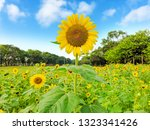 A Field Of Sunflower Blossom I...
