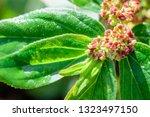 euphorbia hirta  garden spurge  ... | Shutterstock . vector #1323497150