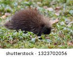 Small photo of Profile of a young North American Porcupine feeding in a meadow. Photographed in New Hampshire, USA. This porcupine shows quills covering its outer body and tail, a natural defense mechanism.