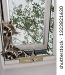Two Adorable Baby Raccoons...