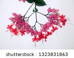 clerodendrum thomsoniae with...   Shutterstock . vector #1323831863