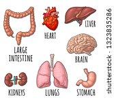 human anatomy organs. brain ... | Shutterstock .eps vector #1323835286