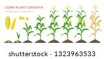 Corn Growing Stages Vector...