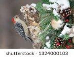 Red Bellied Woodpecker ...