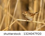 a female reed bunting  emberiza ... | Shutterstock . vector #1324047920