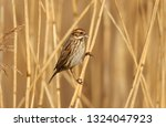 a female reed bunting  emberiza ... | Shutterstock . vector #1324047923