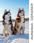 Two Siberian Husky Dogs Look...