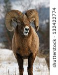 a wild bighorn sheep showing...