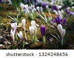 spring crocus  crocus vernus ...   Shutterstock . vector #1324248656