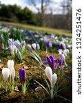 spring crocus  crocus vernus ...   Shutterstock . vector #1324251476