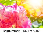 beautiful rose in a park on the ... | Shutterstock . vector #1324254689