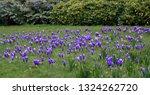 violet spring crocuses  crocus...   Shutterstock . vector #1324262720
