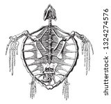 skeleton of a sea turtle of the ... | Shutterstock .eps vector #1324274576