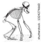Skeleton Of The Chimpanzee ...