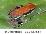 Small photo of Ruby Poison Frog (Ameerega parvula), Ecuador