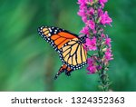 Monarch Butterfly Resting On...