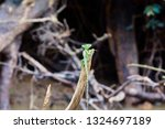 the common basilisk is a... | Shutterstock . vector #1324697189