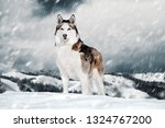 Gorgeous Siberian Husky Dog...