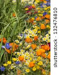 Small photo of Wildflowers of California including Eschscholzia, Common Madia, Madia elegans and Anchusa 'Loddon Royalist' - The Fetzer Sustainable Winery Garden, Chelsea 2007