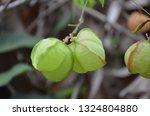 cardiospermum halicacabum ... | Shutterstock . vector #1324804880