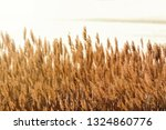 dry reed bending over the water.... | Shutterstock . vector #1324860776