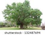 Big Bodhi Tree