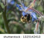 Bumble Bee  Bombus  Gathering...