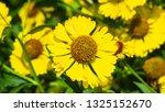 Common Sneezeweed Or Helenium...