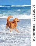 Young Golden Retriever Running...