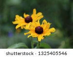 black eyed susan wildflower... | Shutterstock . vector #1325405546