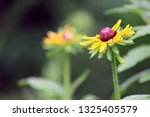 black eyed susan wildflower... | Shutterstock . vector #1325405579